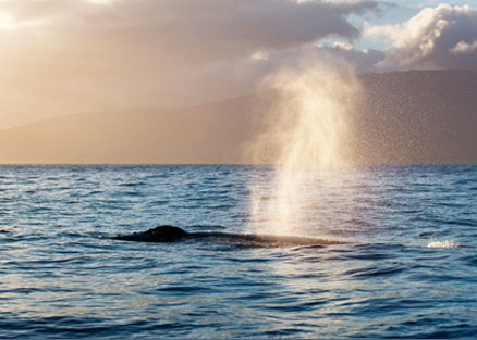 Humpback Whale Blow