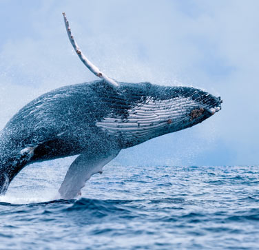 Humpback Whale Breaching for the best maui afternoon adventure tours