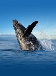 Whale breaching in a beautiful backdrop of smooth Pacific ocean and Maui island.