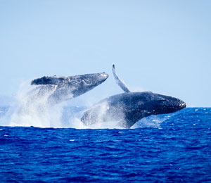 Maui Adventure Cruise swim with underwater marine life