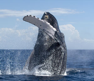 Maui Whale Watching Tour