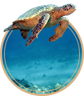 Turtle swimming in a blue Hawaii ocean.