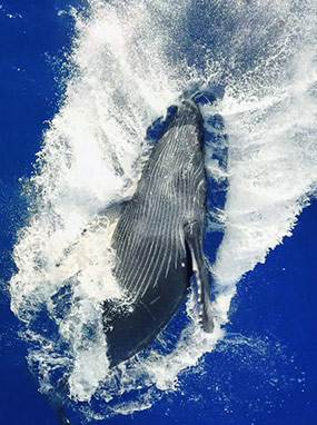 Whale watching aboard the best Maui snorkel cruise.