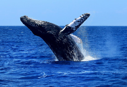 Humpback Whale jumping out of choppy blue Hawaiian Pacific Ocean.