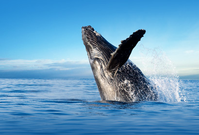 Humpback Whale breaching on the best afternoon adventure charter.
