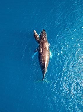 Humpback Whale Maui Aerial